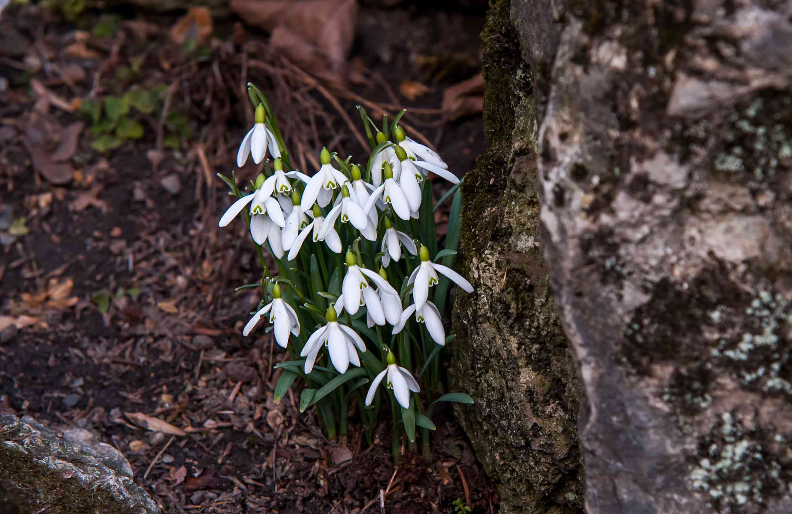 Snowdrop galanthus nivalis plant on side of large rock with small white flowers