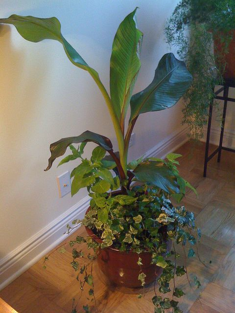 Bananas Can Form Beautiful And Striking Indoor Container Gardens As This Planted With Coleus Ivy A Banana Centerpiece Demonstrates
