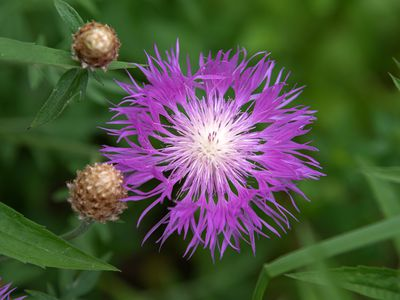 Basket flower with bright purple thistle-like petals with cream center and buds closeup