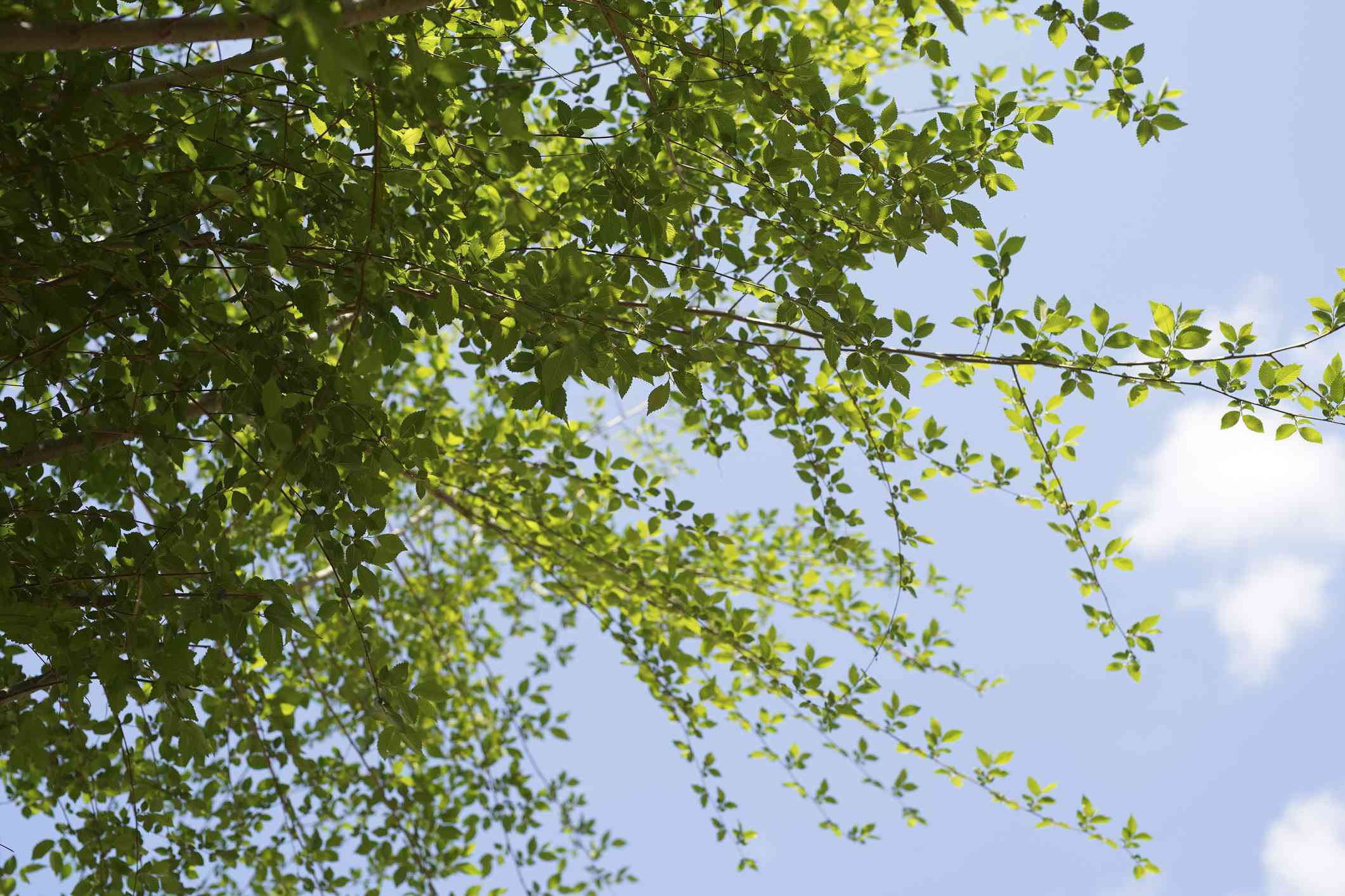 Green branches of the Siberian elm