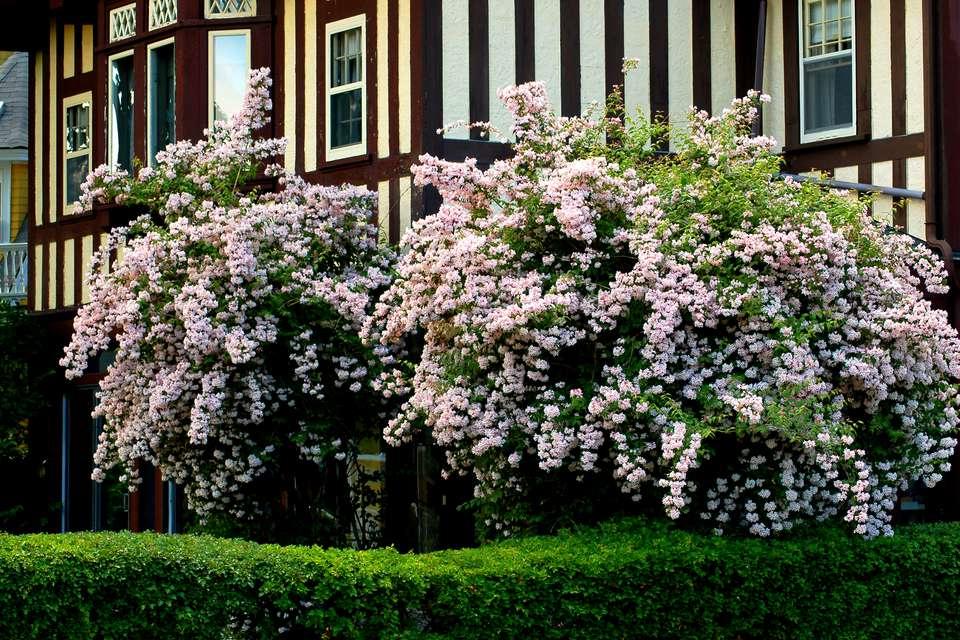 beauty-bush-big.jpg