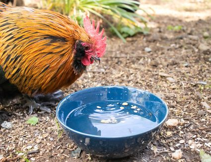 Blue ceramic bowl with water for chicken with orange feathers to drink
