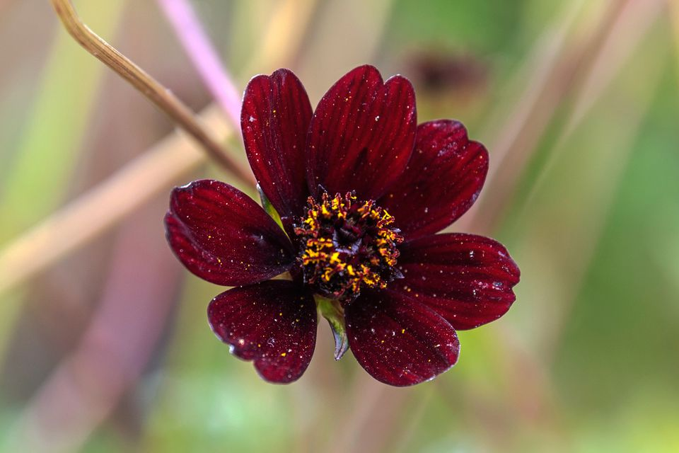 Chocolate cosmos flower with rounded maroon petals and yellow center closeup