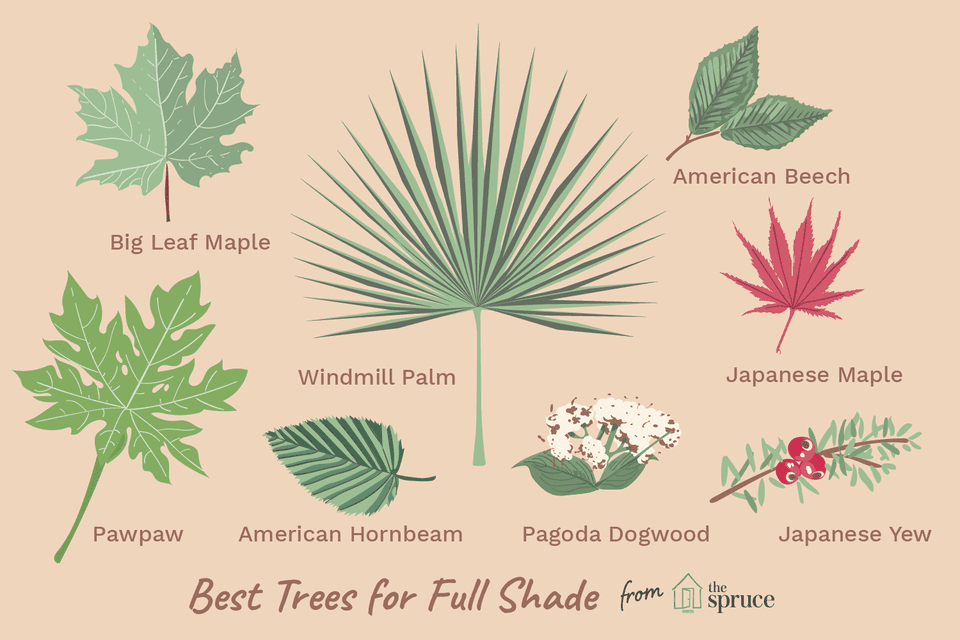 illustration of tree varieties that grow in full shade