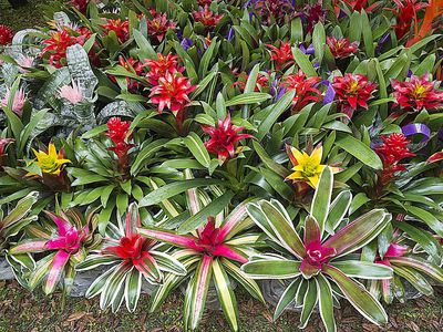 Image result for bromeliads south florida