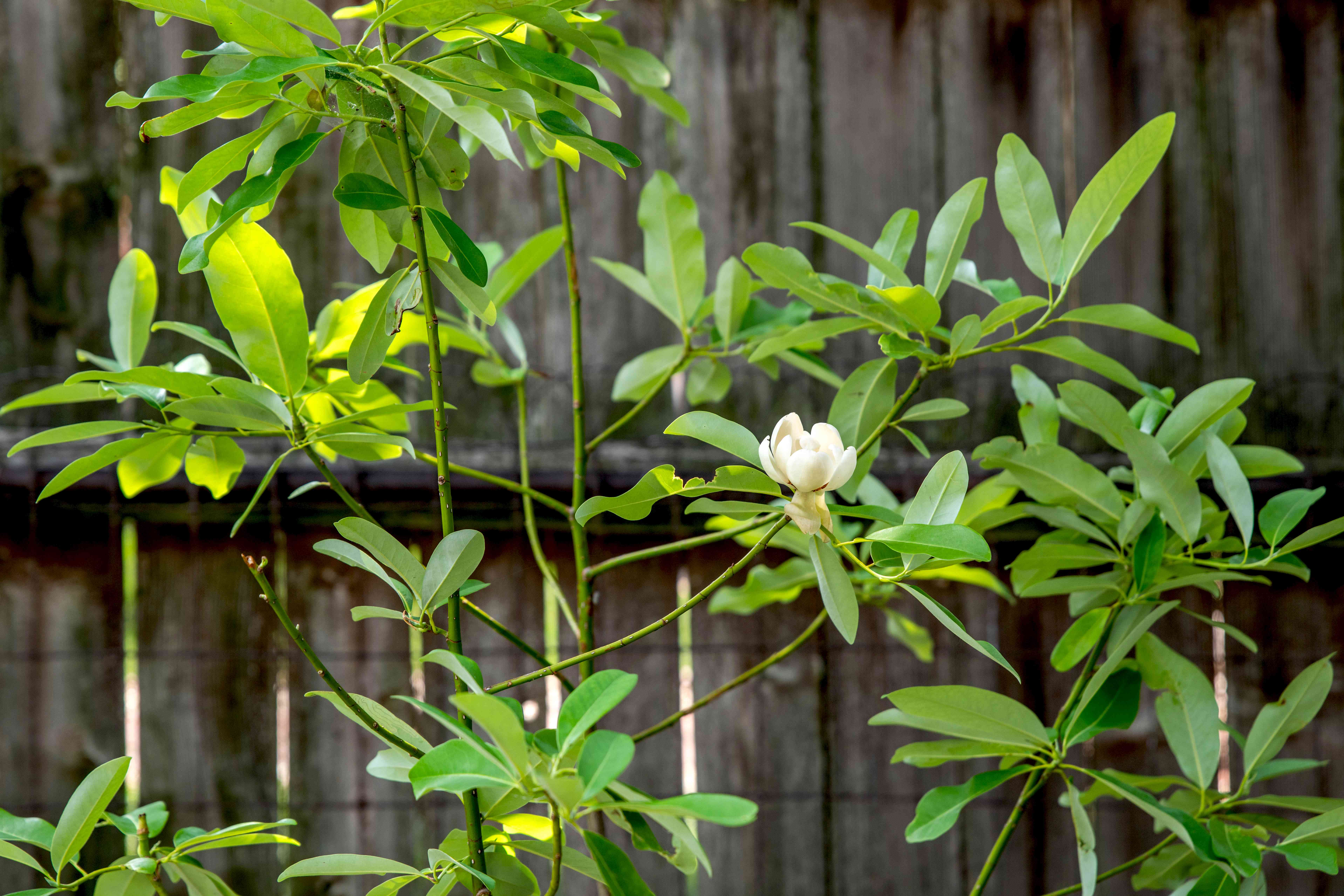 Sweetbay magnolia tree with thin branches with emerald leaves and white flower in front of wooden fence
