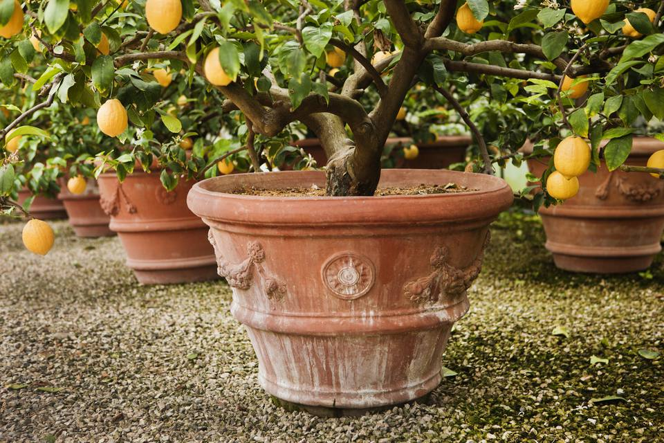 Potted lemon trees.