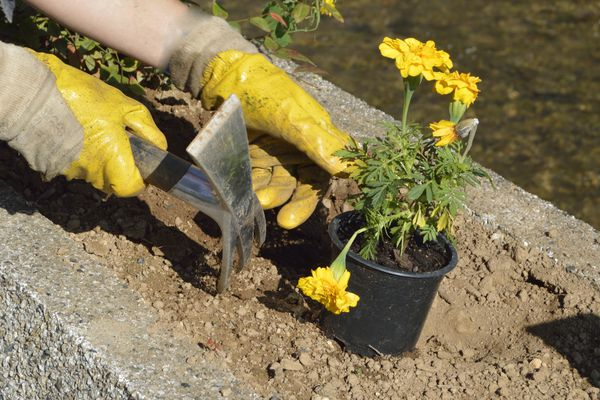 Person with gloves on planting a pot of marigolds.