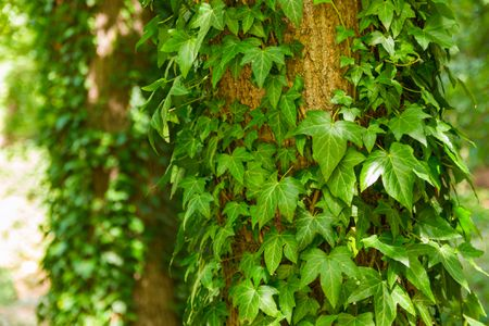English Ivy Growing On A Tree