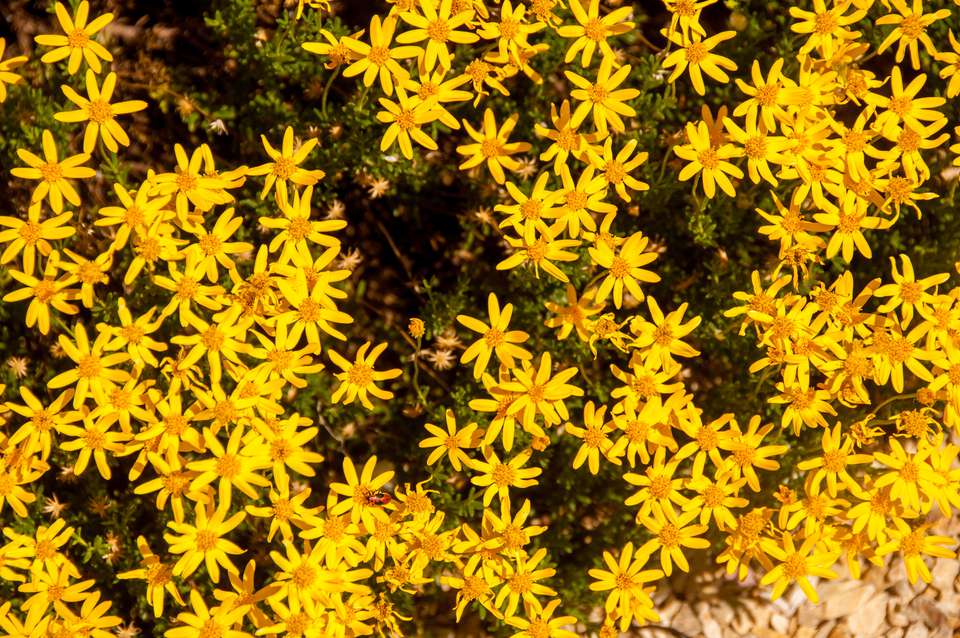An overhead view of Damianita daisies ( Chrysactinia mexicana) in a rock garden.