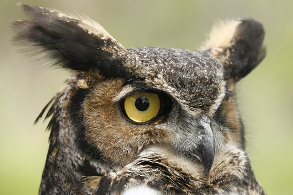 Great Horned Owl Showing Ear Tufts