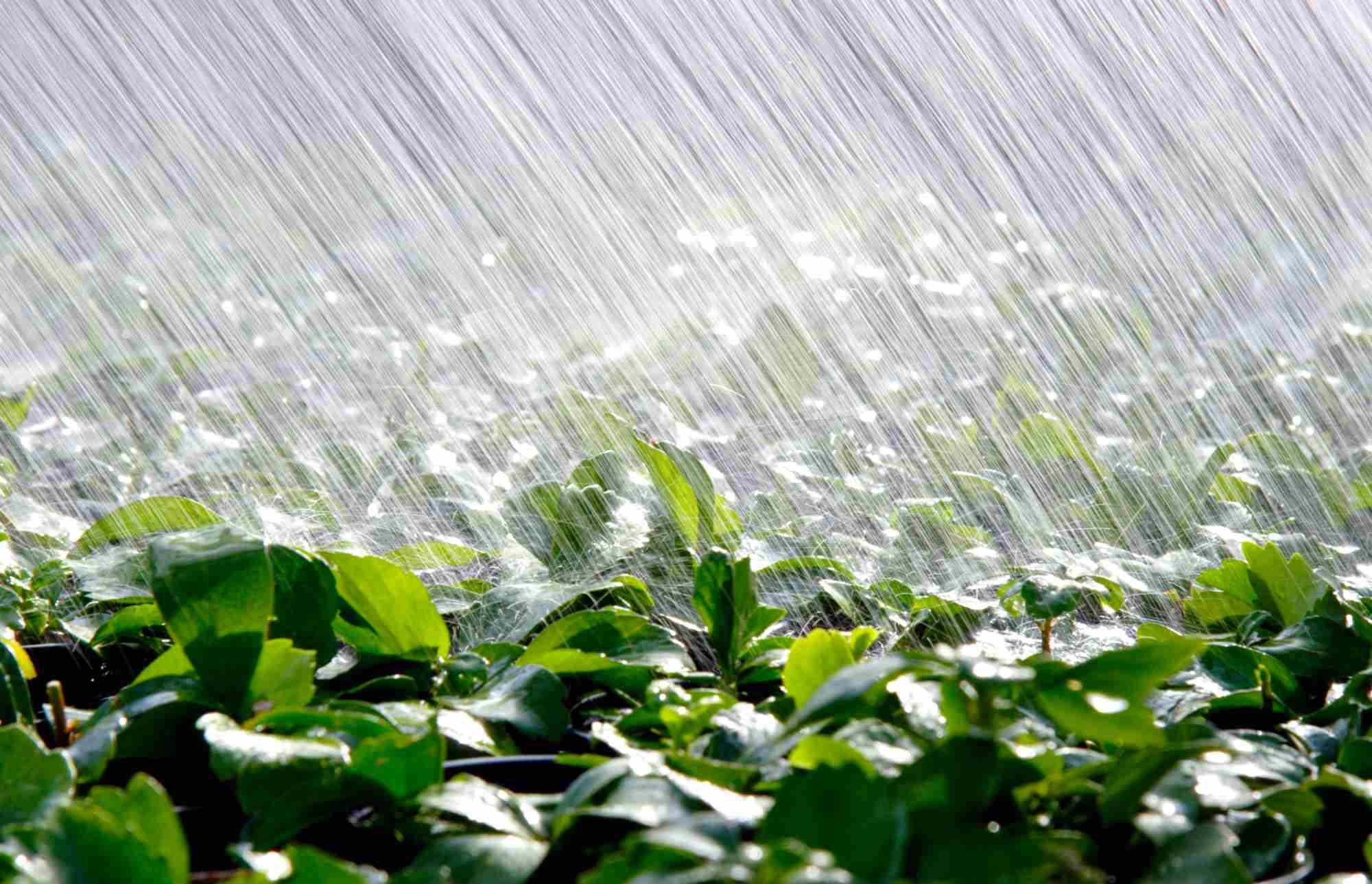 Partial heavy sprinkler rain on a field of pachysandra