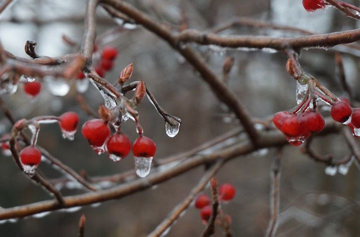 Red berries with frozen raindrops hanging from them.