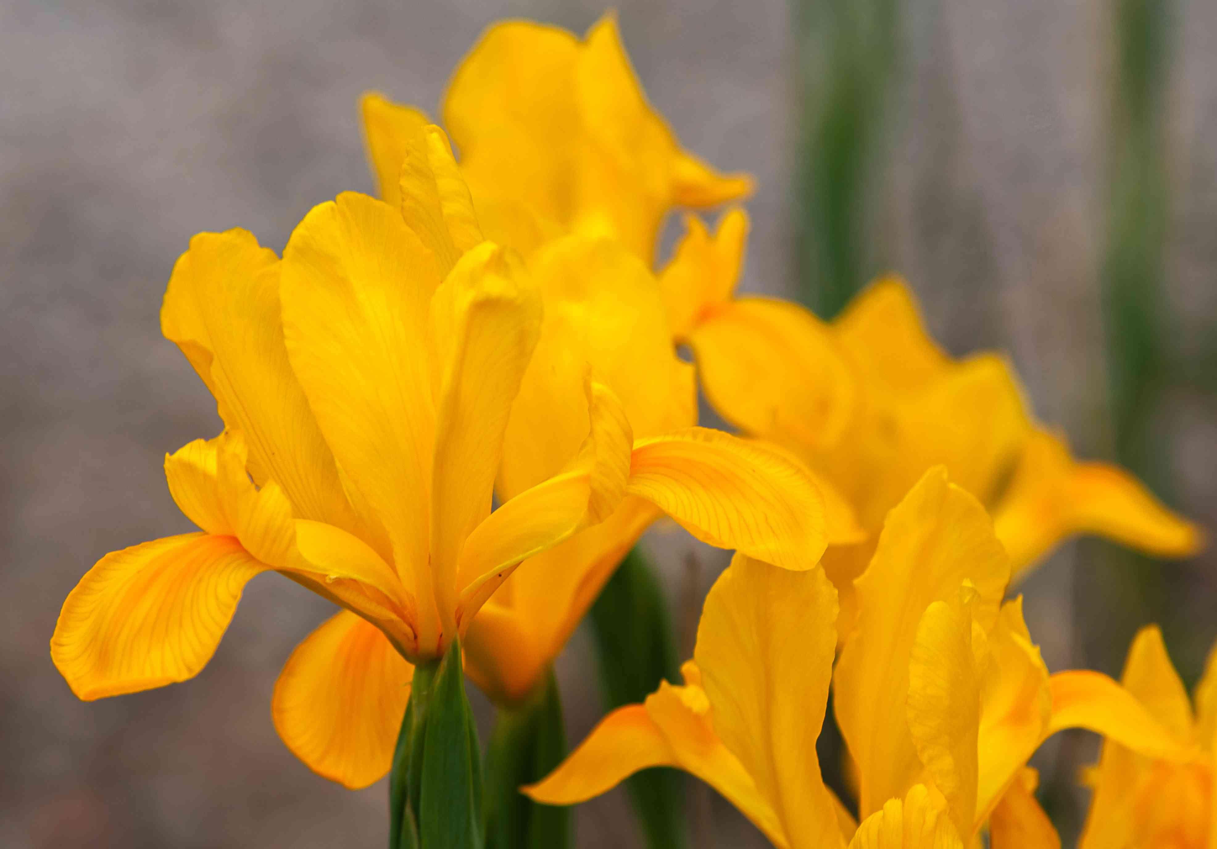 Dutch iris royal yellow with yellow flowers closeup