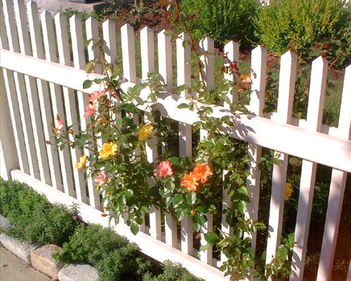 The roses growing through this fence don't obscure it but do add interest.