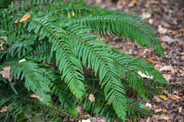 Western sword fern plant with long blade-like fronds growing above mulch