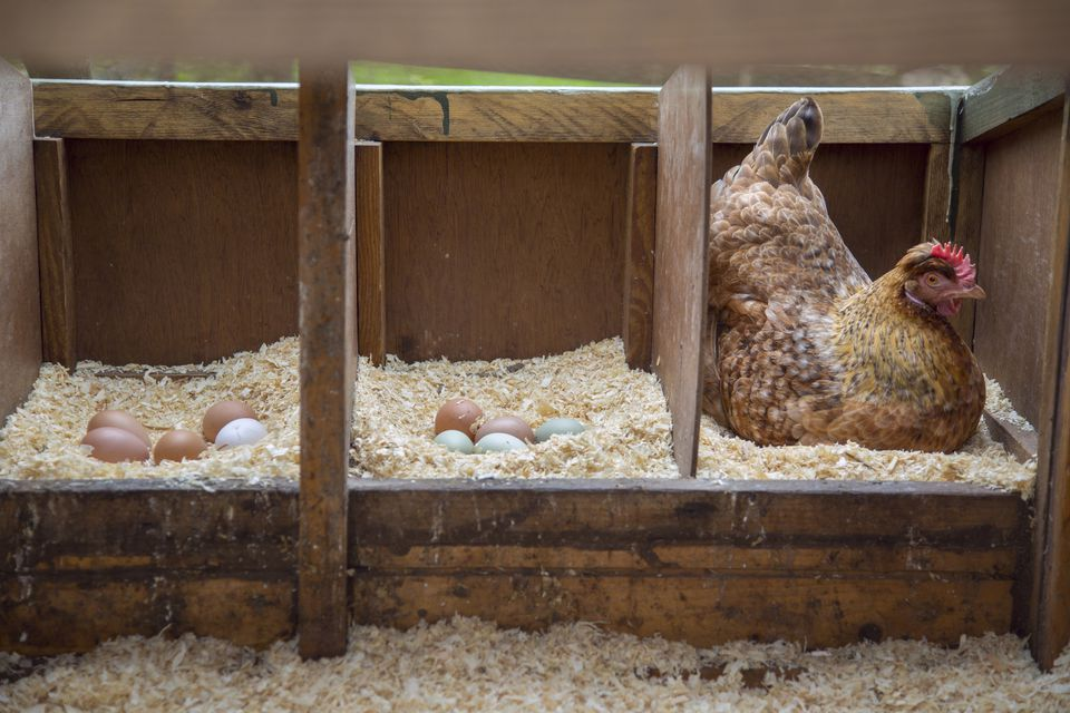 Free range hen sitting on eggs