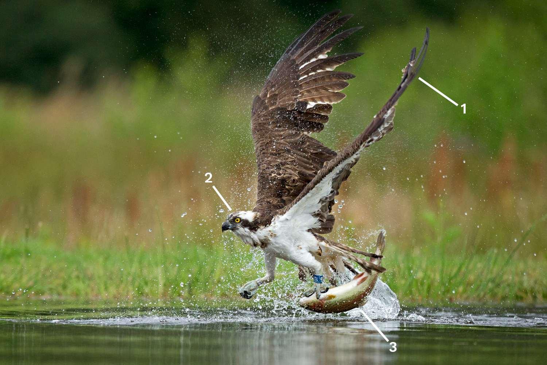 Hunting Osprey ID