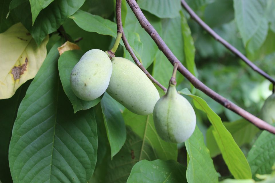 Closeup of Three Pawpaws (Wild Edible Fruit) Ripening on Tree in Forest