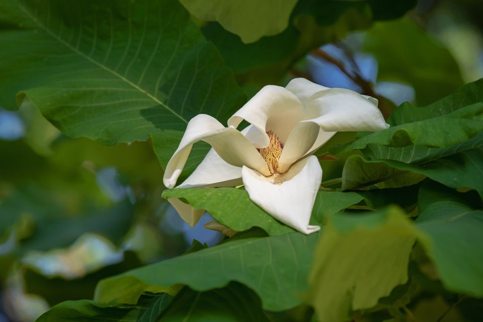 Bigleaf magnolia branch with wide veined leaves with large white flower