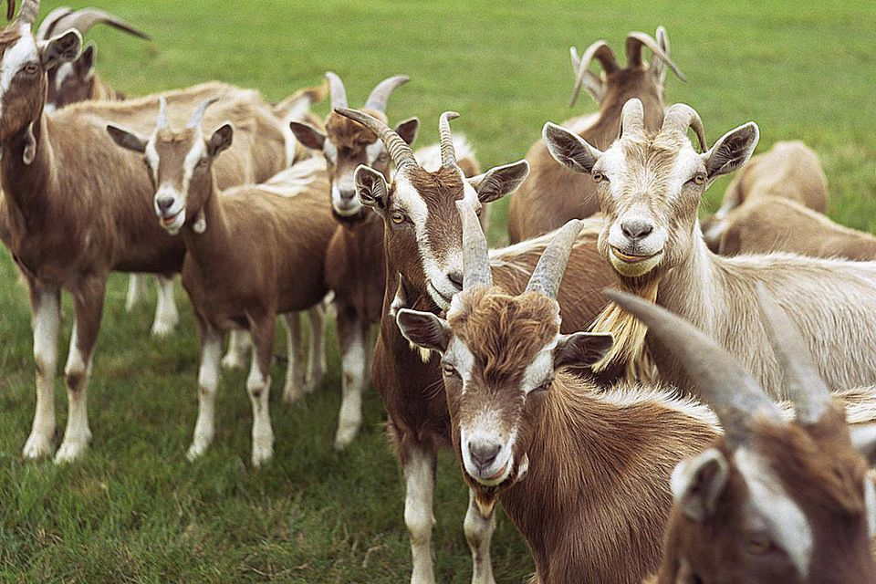 How To Raise Goats On Your Small Farm