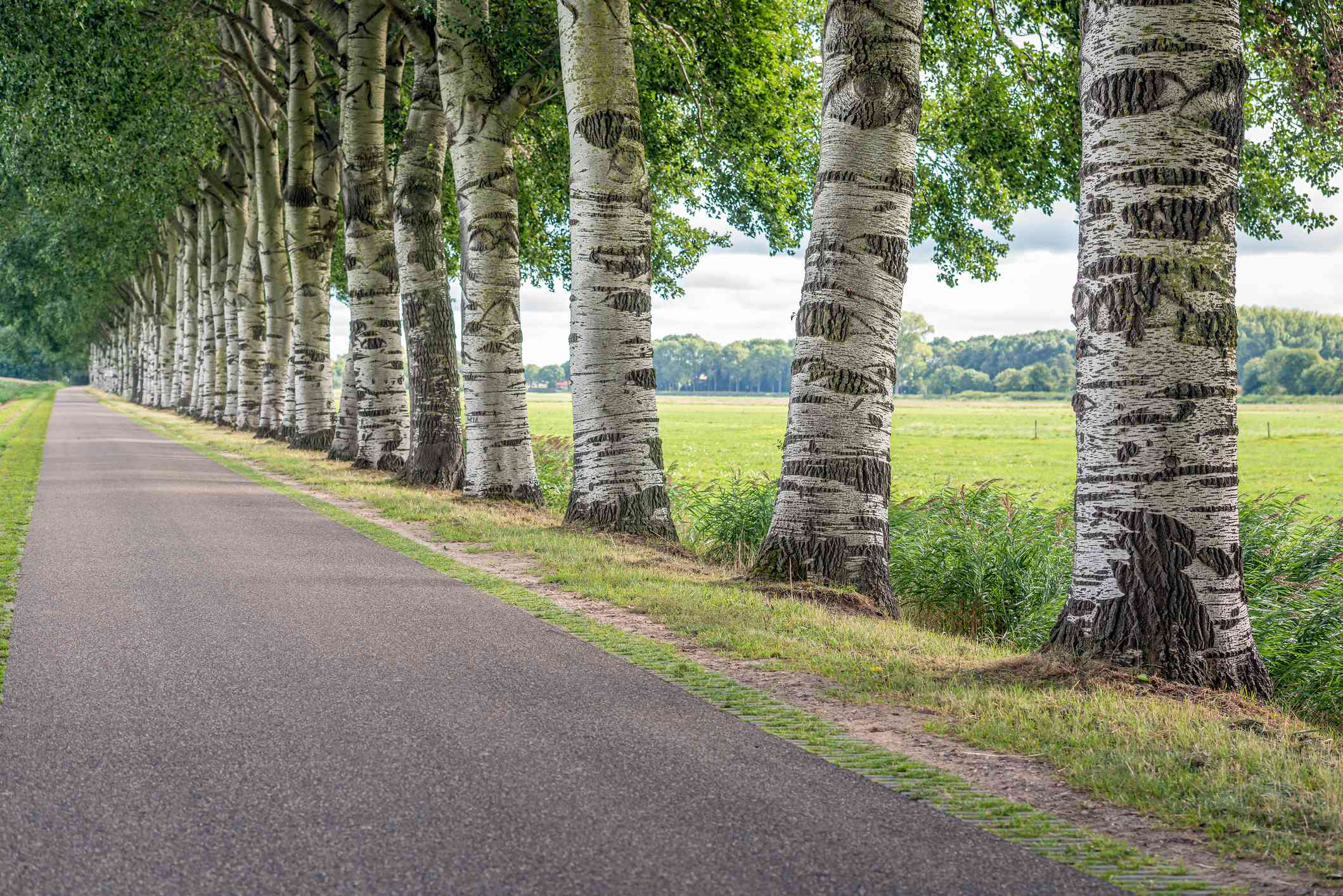 Seemingly endless line of Grey Poplars lining road in the Netherlands