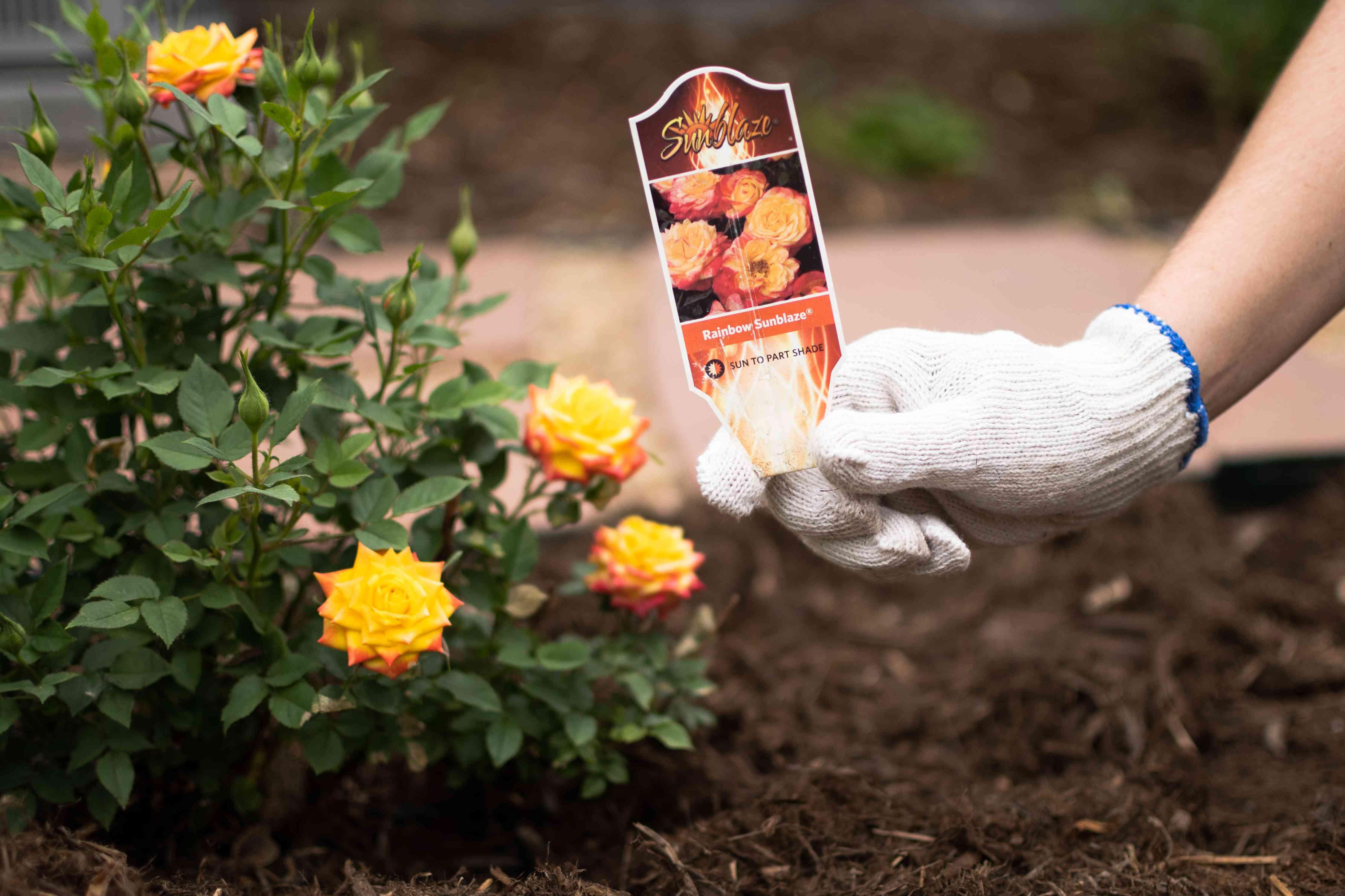 Rainbow sunblaze rose variety plant card held by rose bush