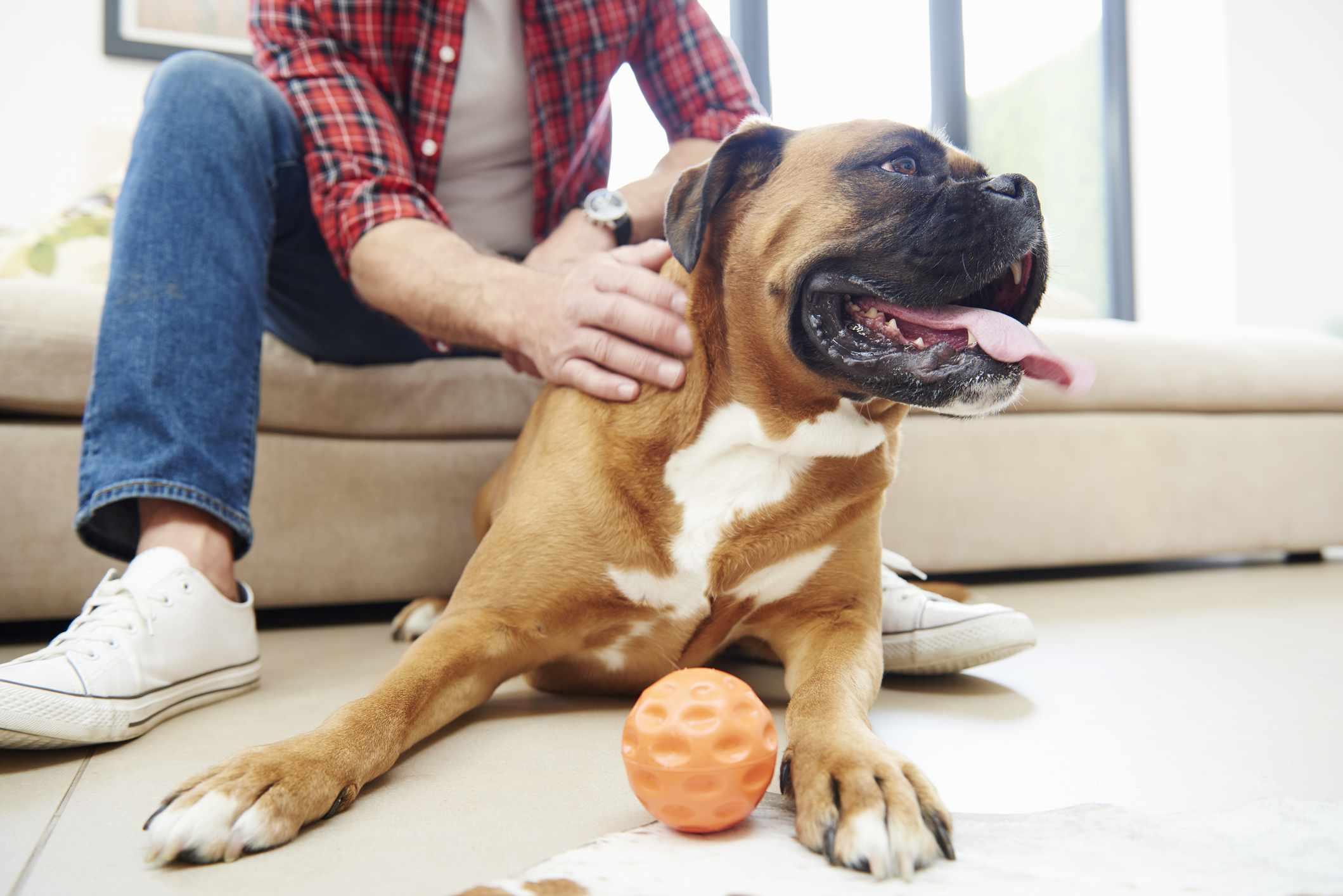 Man petting large brown dog.