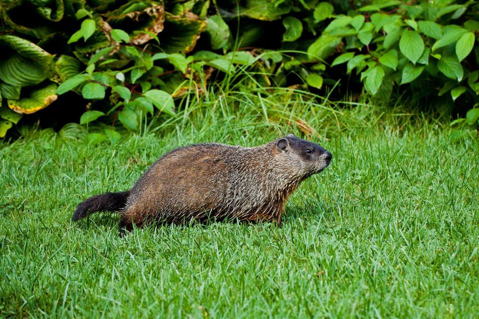 Groundhog in profile walking on grass.