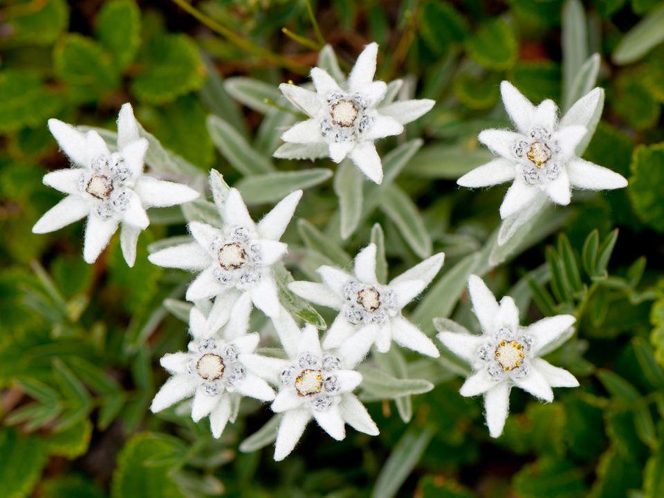 Edelweiss flowers (Leontopodium alpinum) in bloom