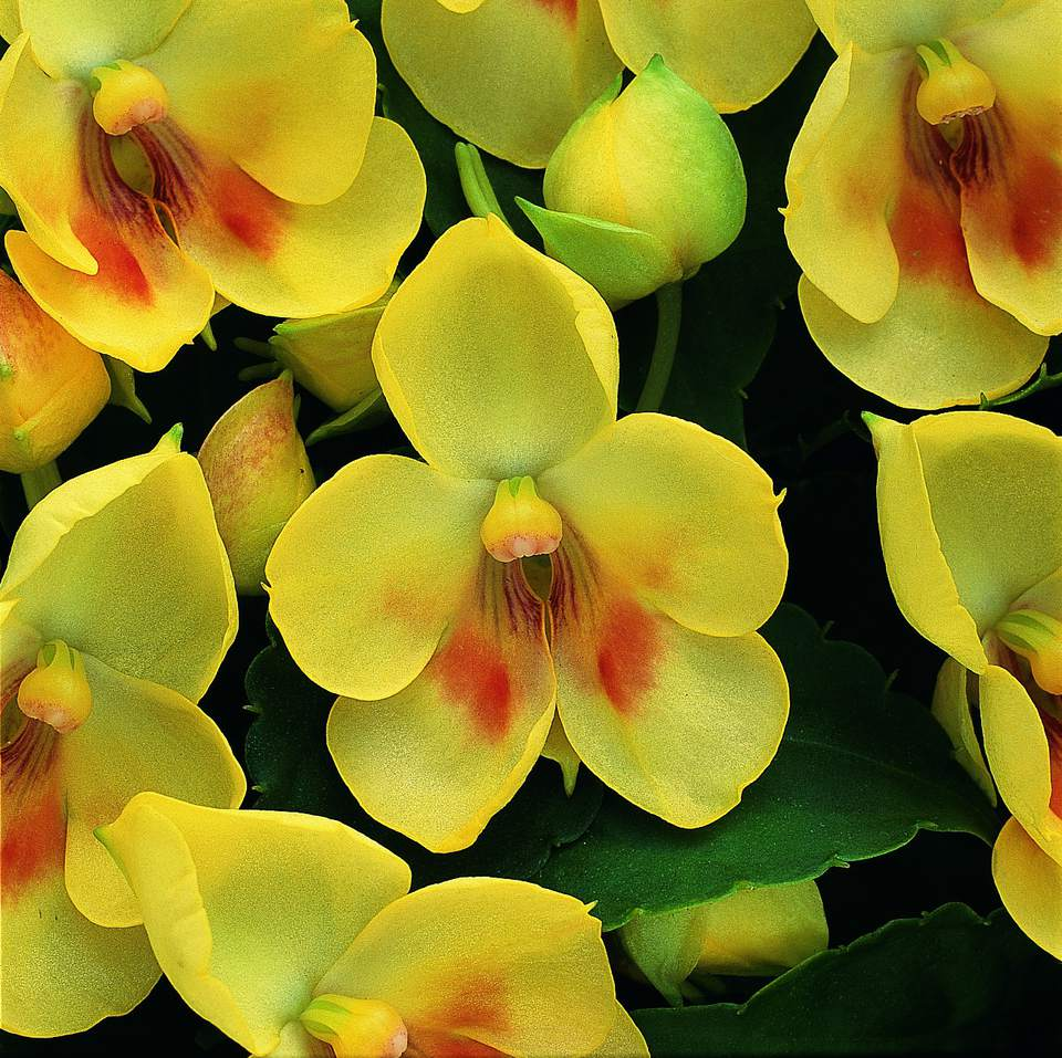 Simply Beautiful Fusion Impatiens 'Glow'