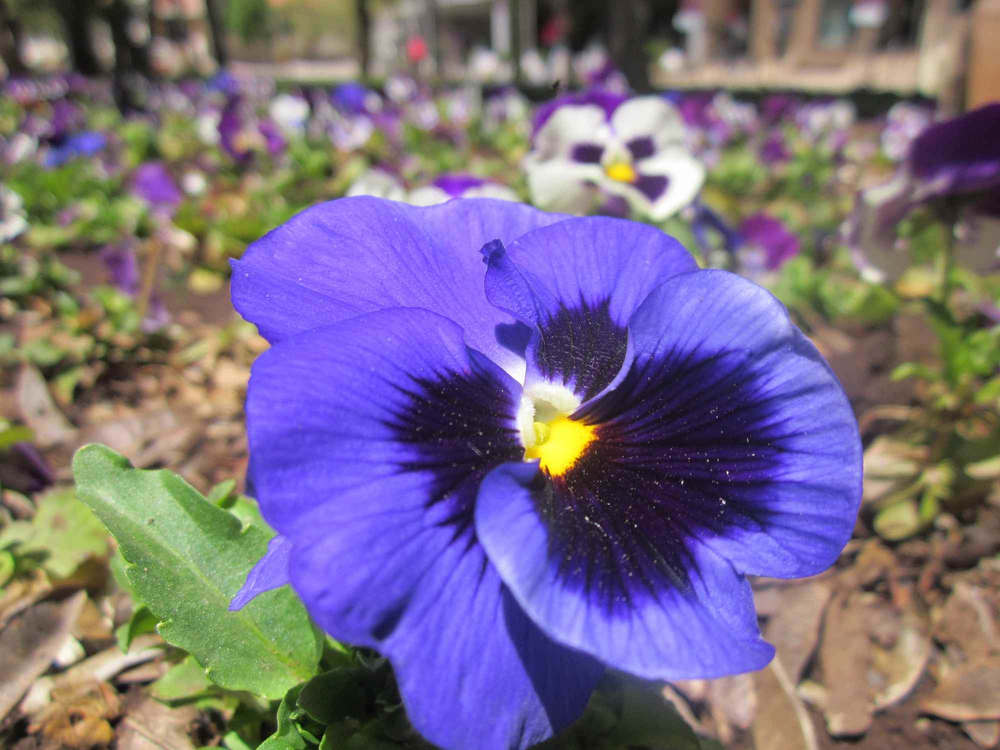 Pansy blooming