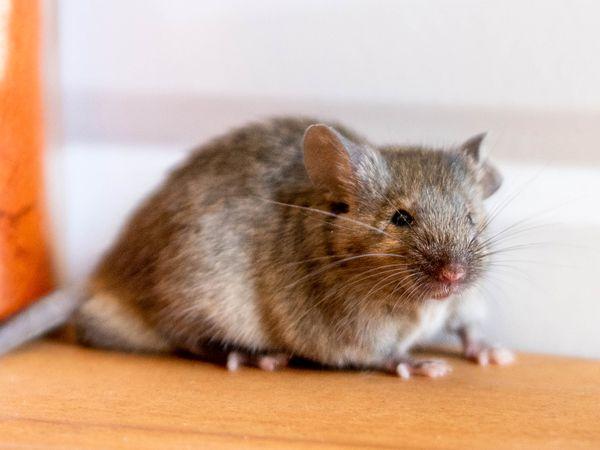Light brown mouse closeup