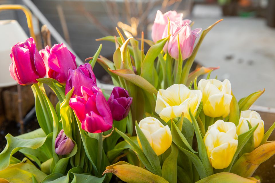 Fuchsia, pink and white tulips in spring garden container closeup