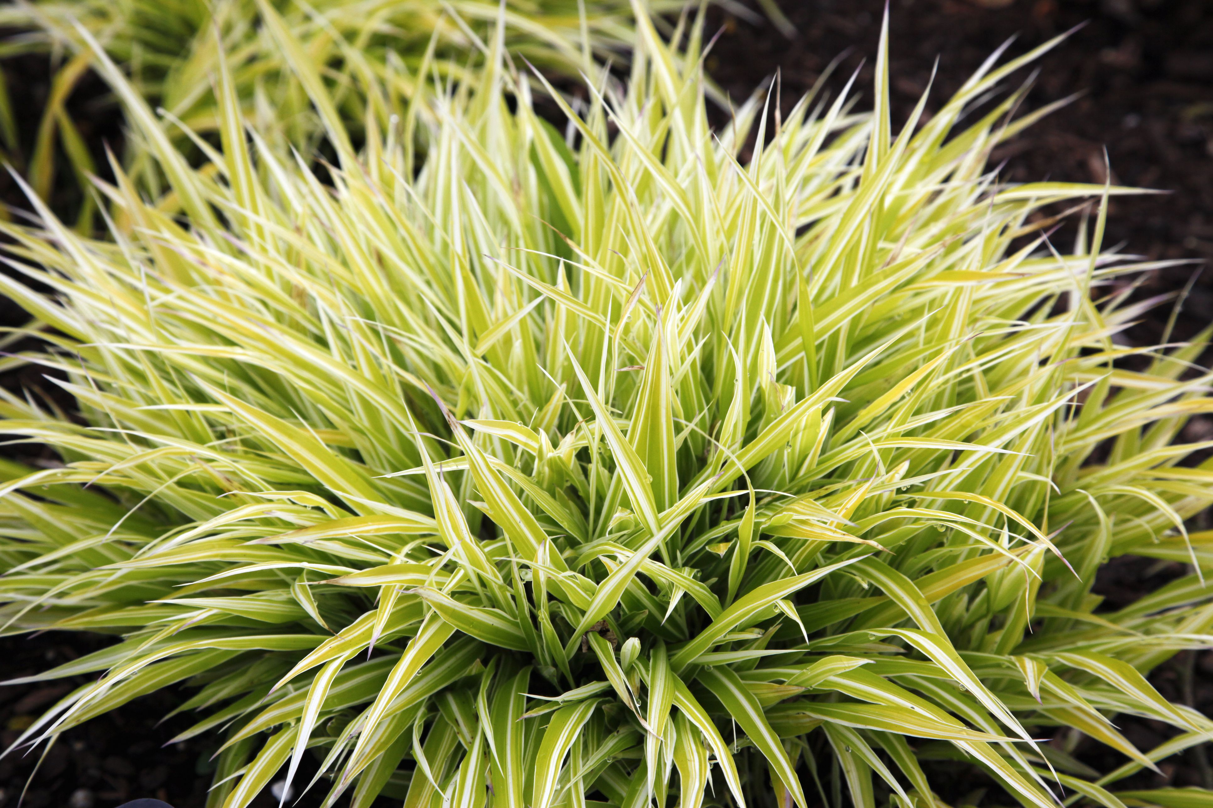 Close Up of Variegated Japanese Forest Grass (Hakonechloa macra)