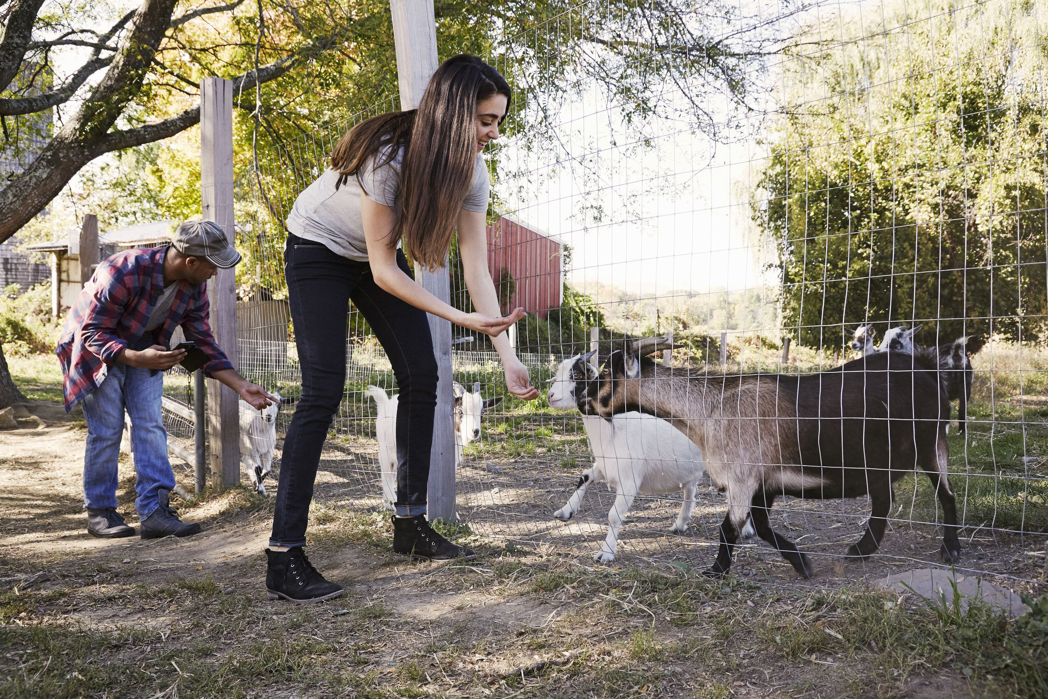Woman and man feeding goats in a small farm
