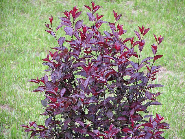 Púrpura hoja ciruela flores en rama