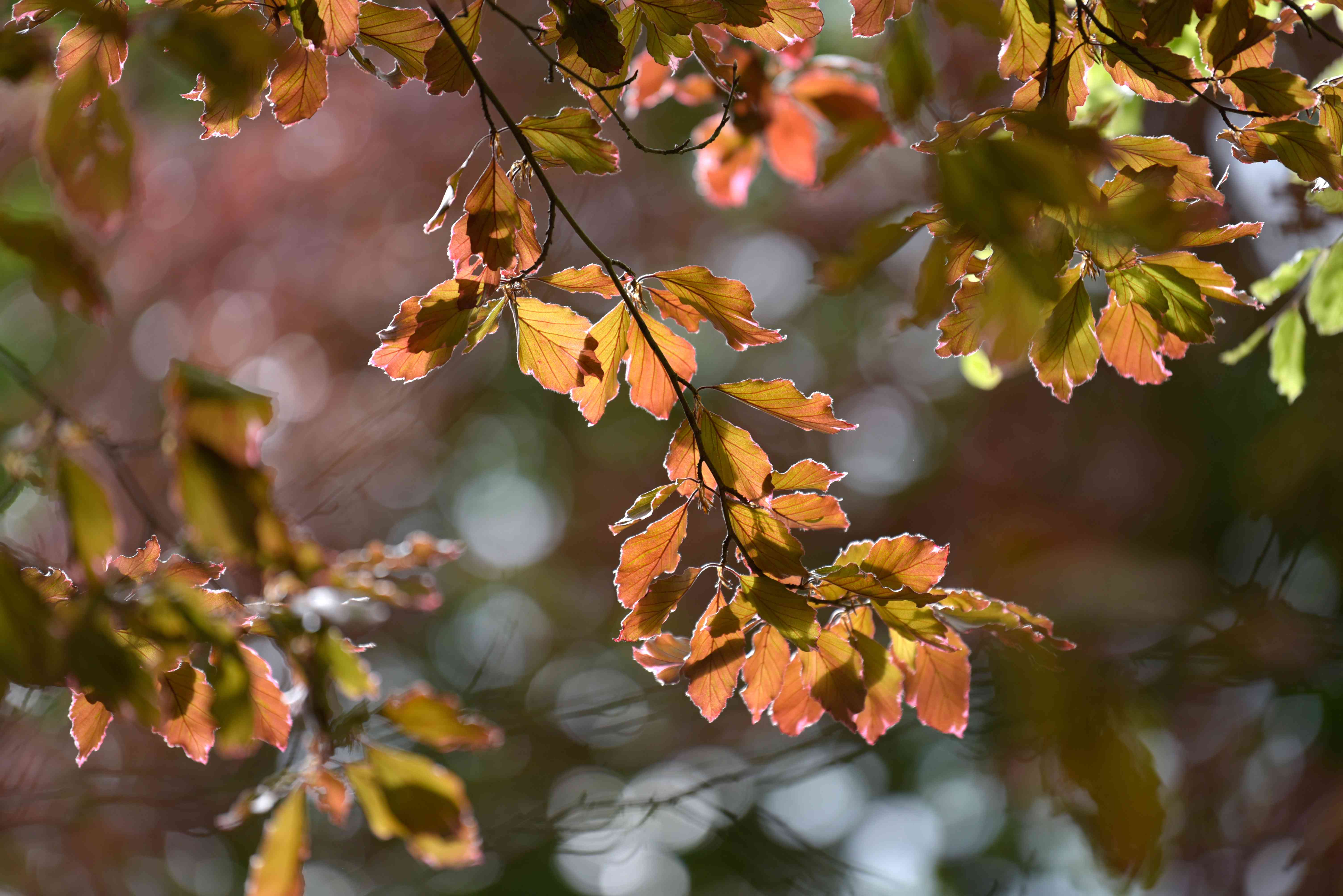 Tricolor beech tree stem with copper brown and yellow leaves