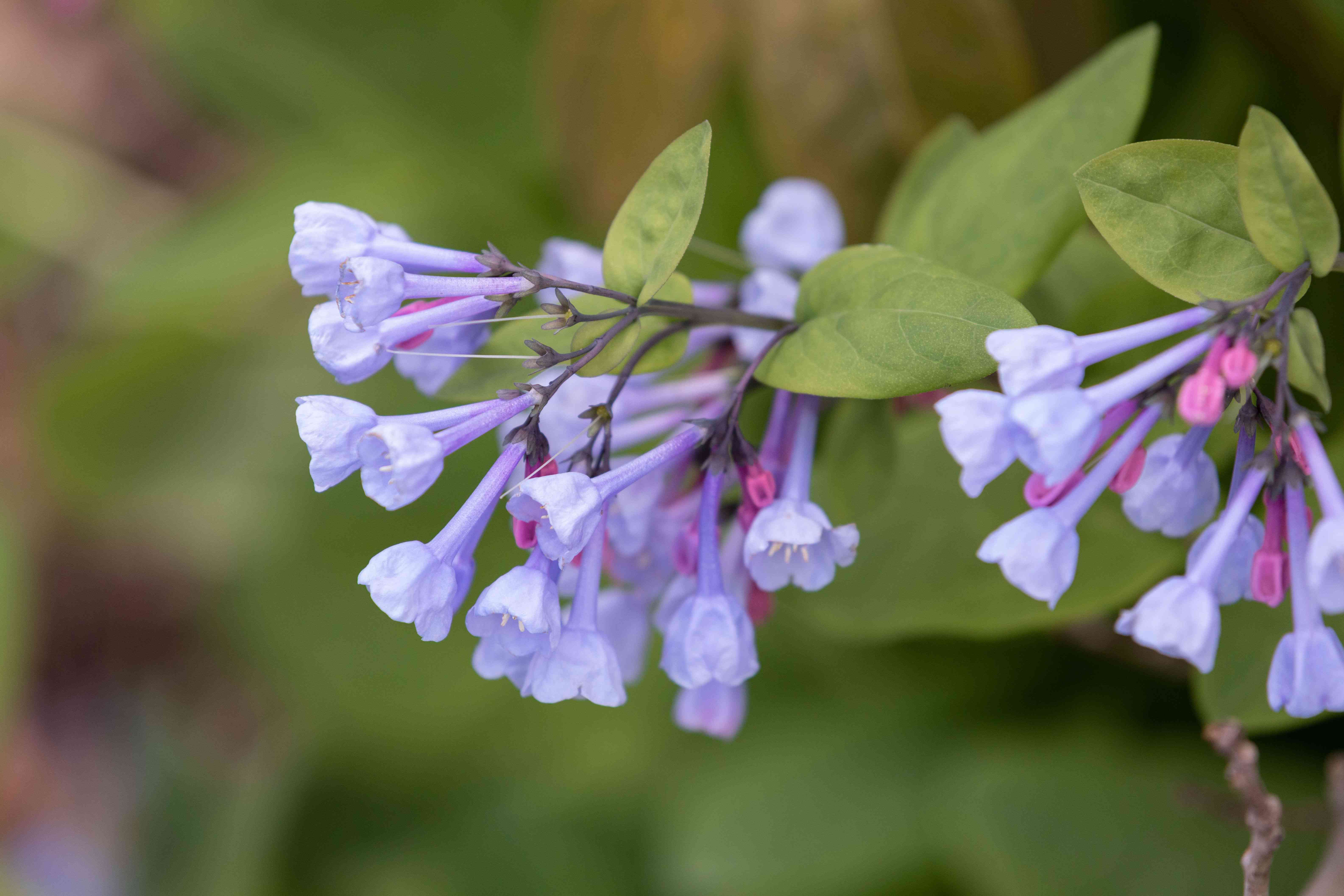 Virginia bluebells plant with small purple trumpet-shaped flowers on edge of stems closeup