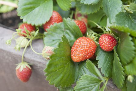 Strawberry Varieties With Pictures