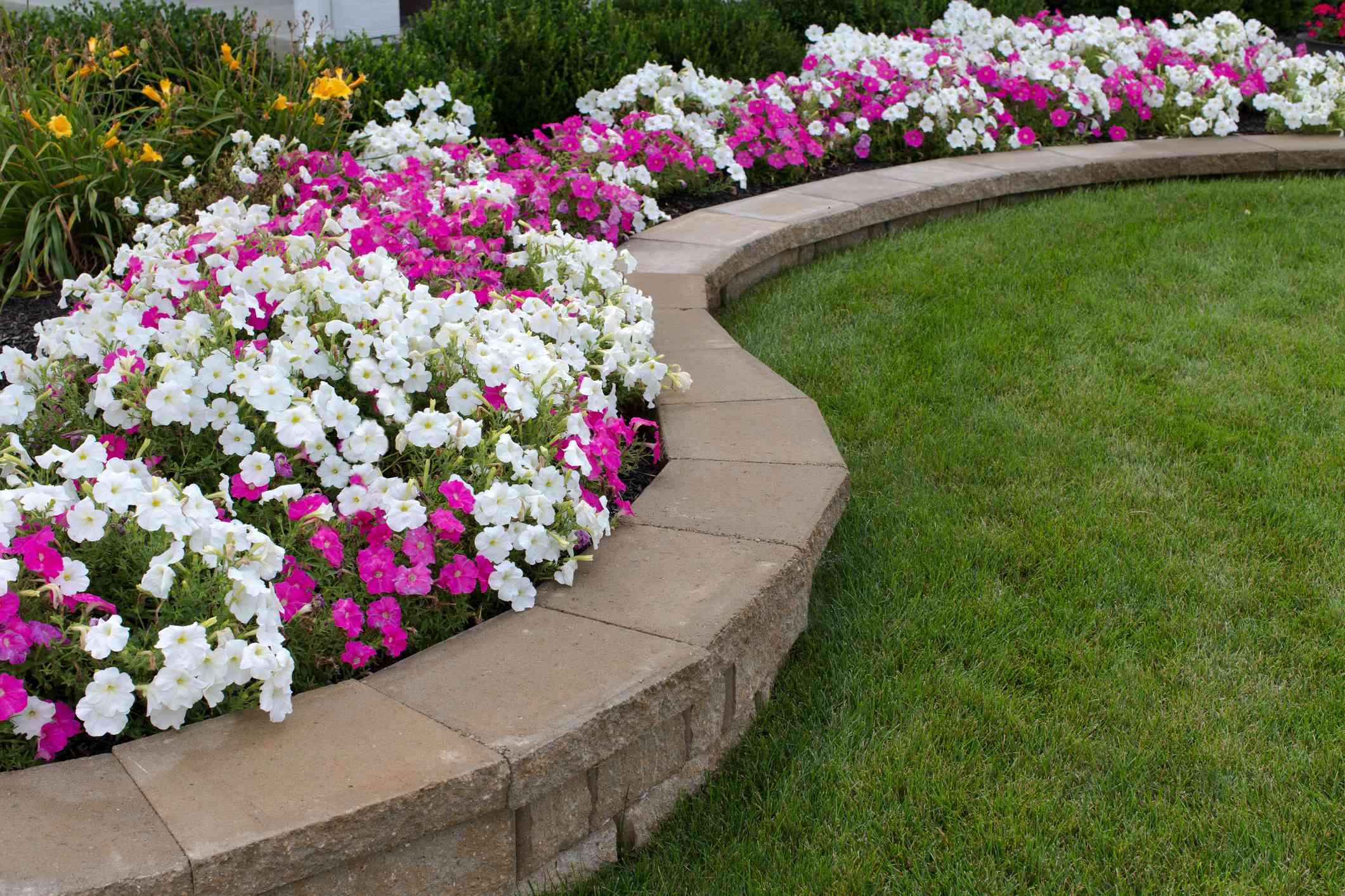 Petunias rosadas y blancas