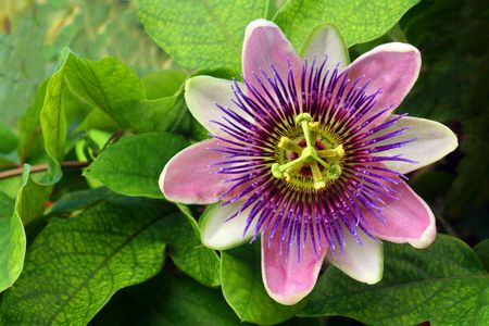 How to grow passion flower indoors purple passion flower and green leaves mightylinksfo