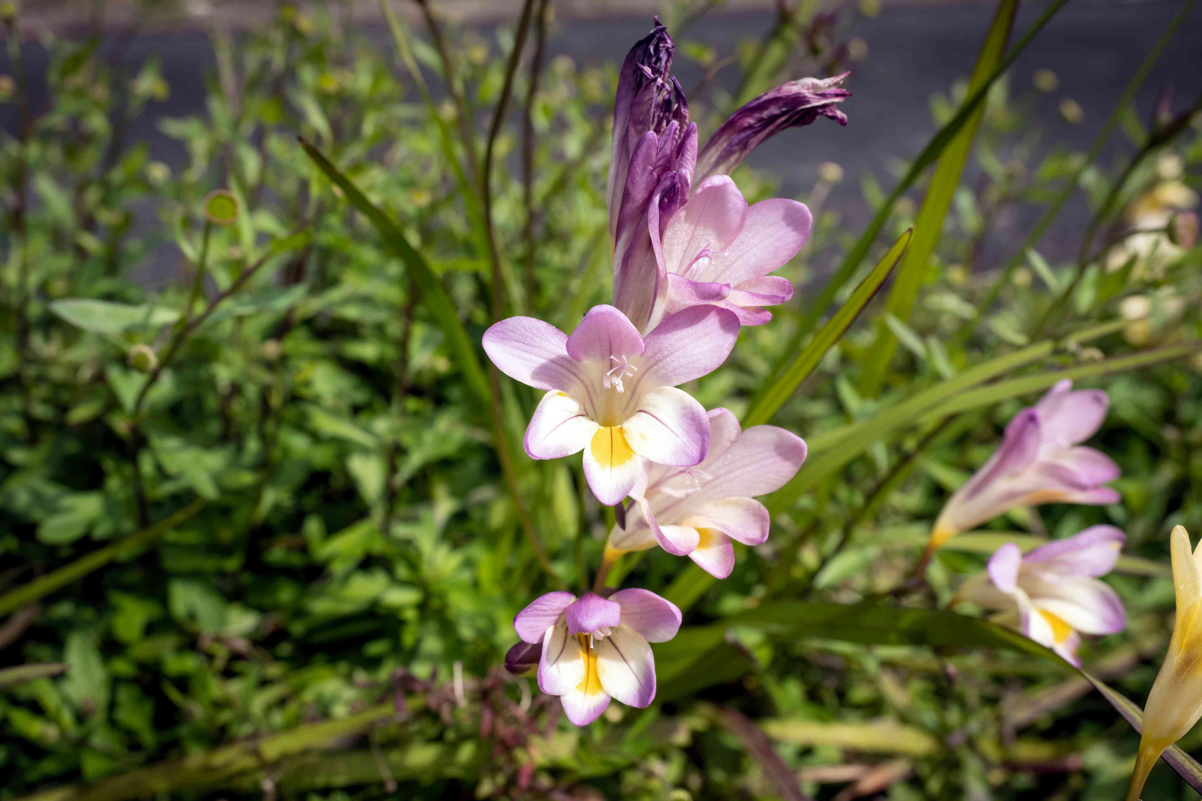 Freesia bulbs with light purple-pink and white flowers on thin stems in stunlight
