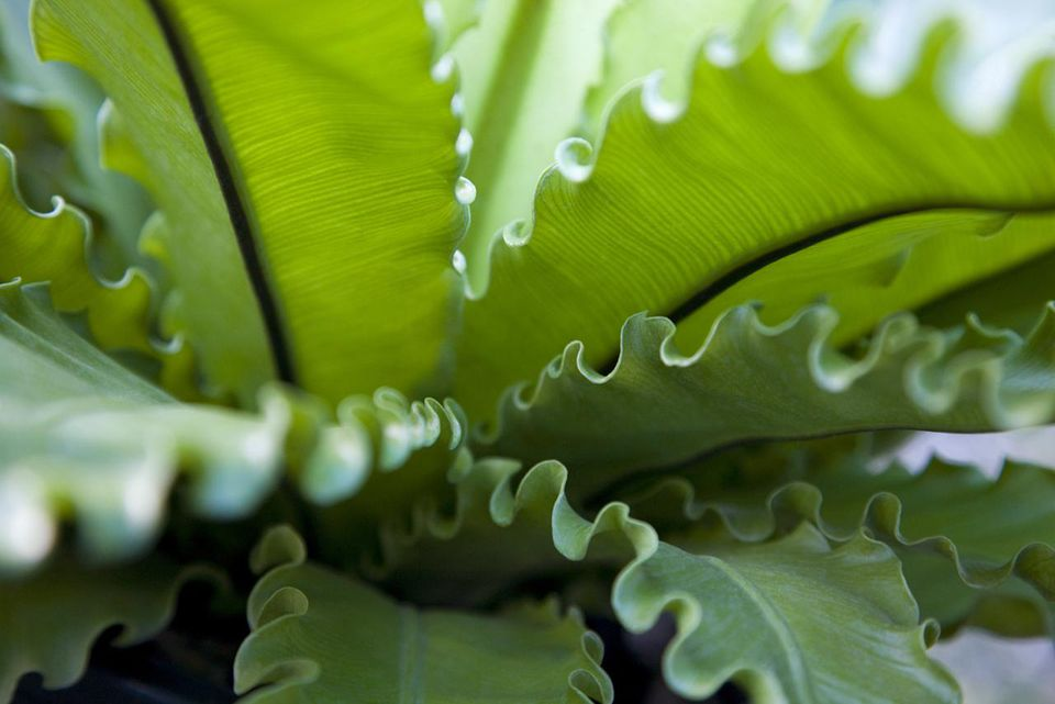 Close-up of bird's nest fern, green leaf