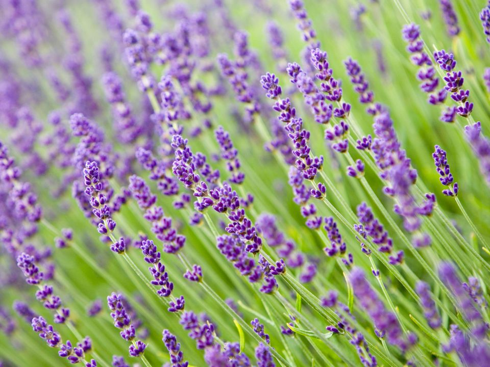 Lavender Plant Care And Growing Guide