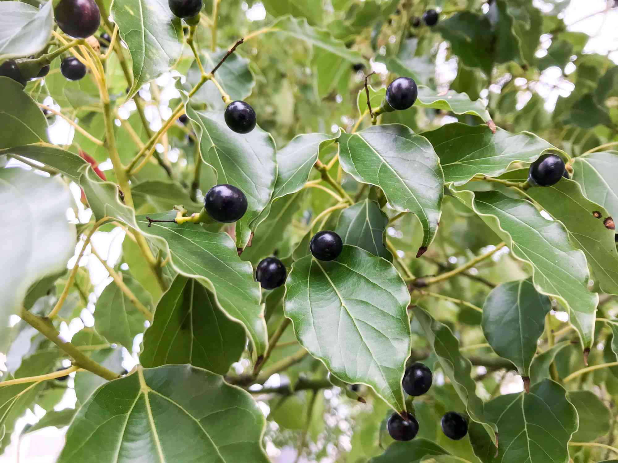 Closeup of the leaves and berries of the camphor tree