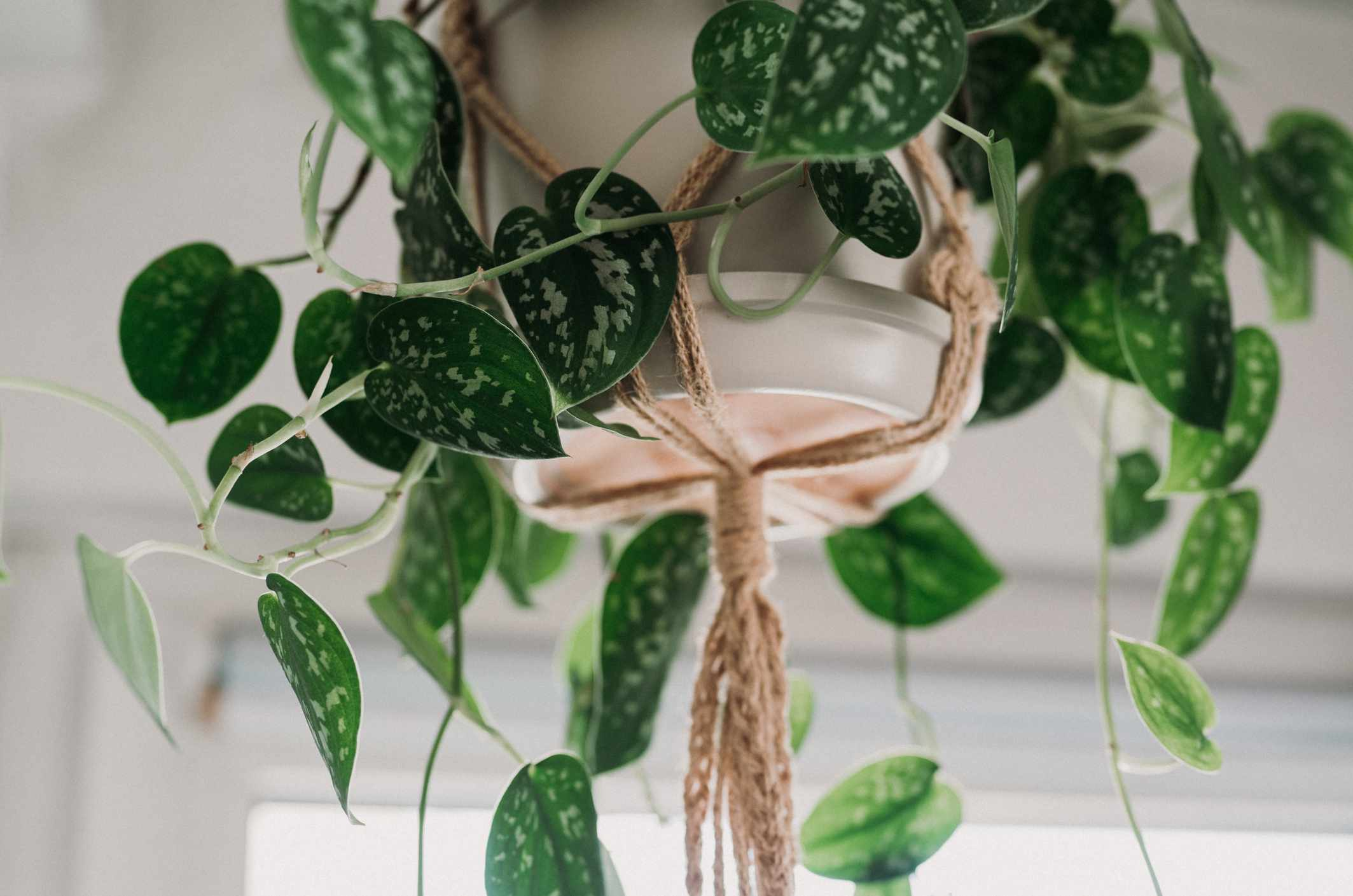 Scindapsus pictus 'Argyraeus' in a white hanging pot with a macrame hanger - shot from below.
