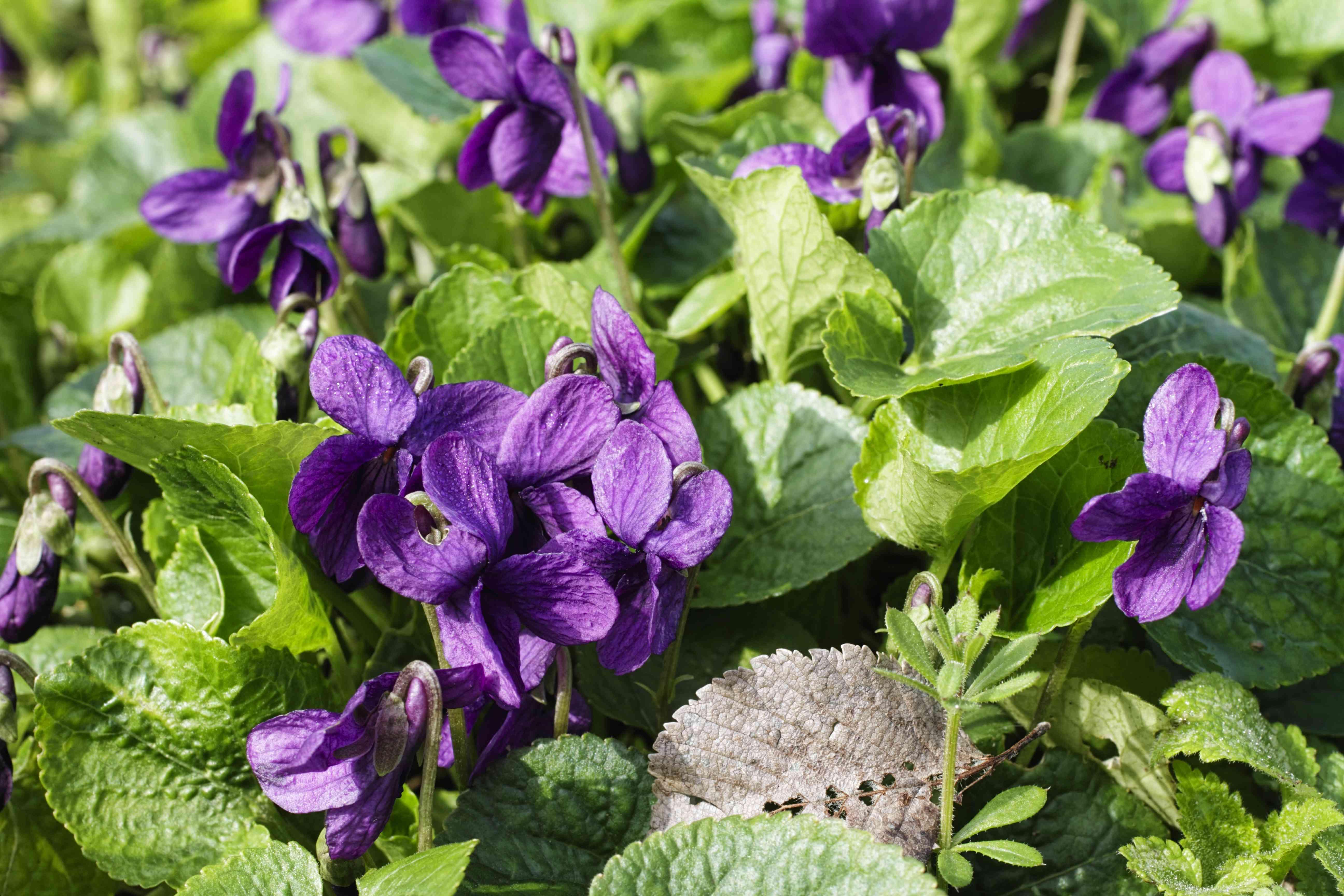 Sweet violet Viola odorata purple woodland flower