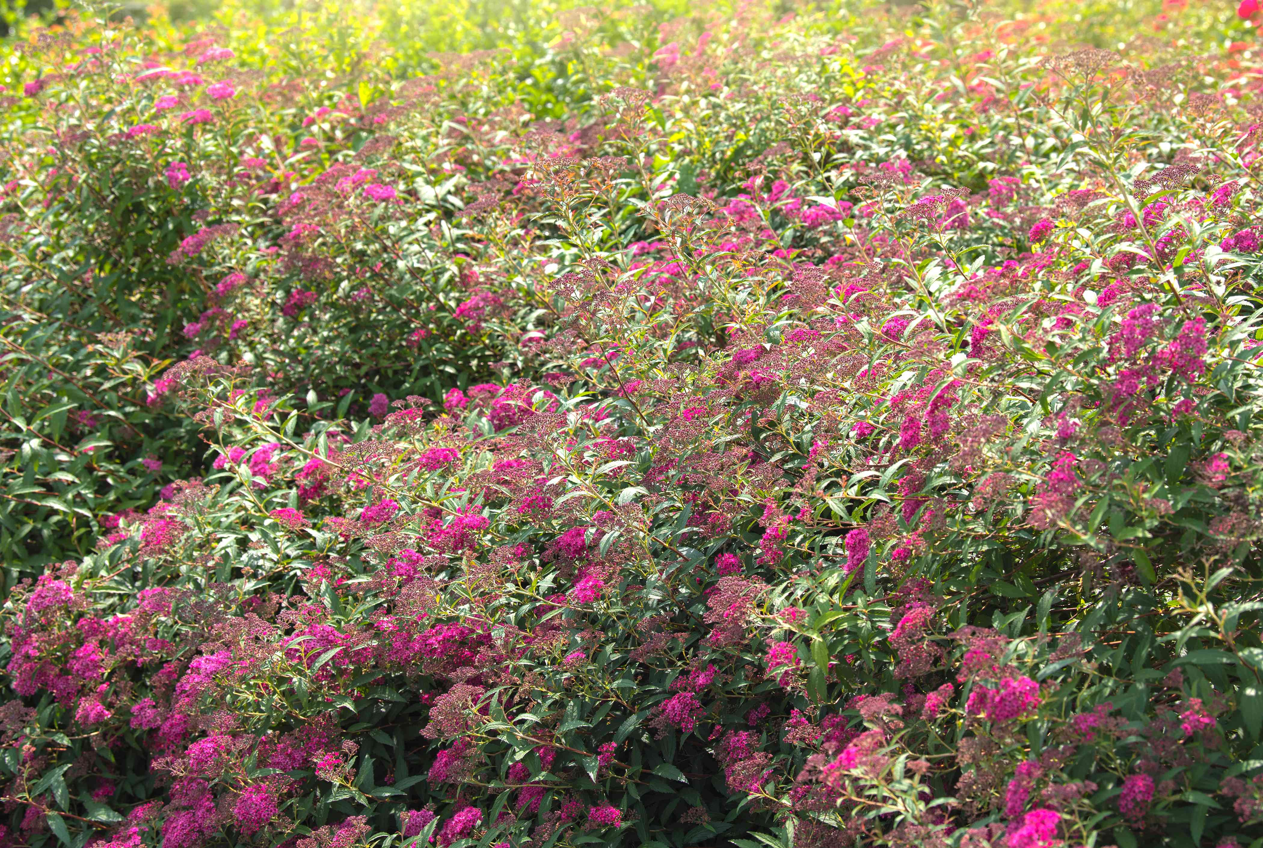 Neon flash spirea shrub branches in sunlight with bright pink flower clusters
