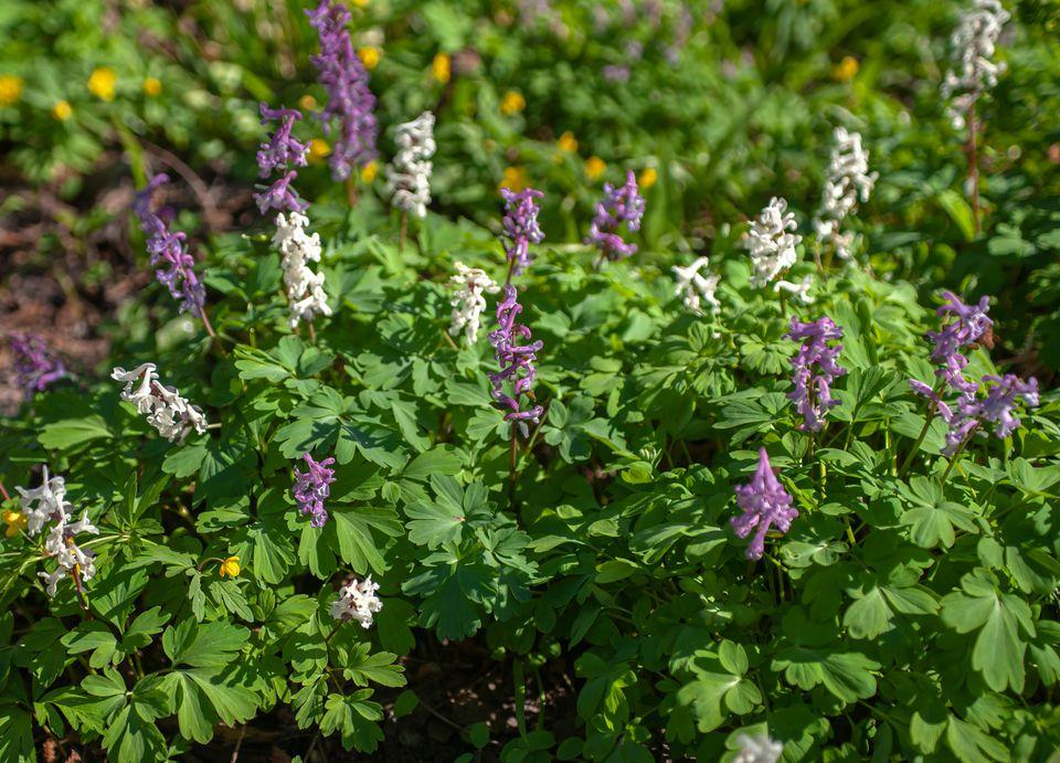 corydalis flowers
